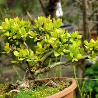 berberysowe bonsai