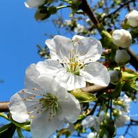Białe kwiaty czereśni