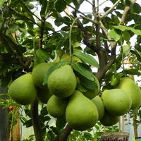 Citrus Maxima ,Pompela