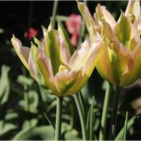Coraz więcej tulipanów...