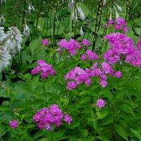 Floksy i inne kwiaty