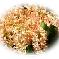 Hiacynty-wiosenne kwiaty