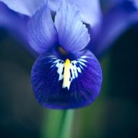 irys purple gem-płatek