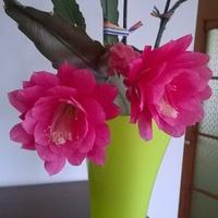 Kaktus wielkanocny gotowy na święta.