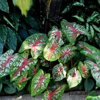 Kaladium ,rośliny o pięknych kolorowych liściach