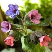Kolorowe kwiatki miodunki:)