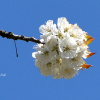 kwiat czereśni