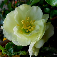 kwiat pigwowca