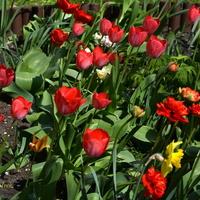 kwietniowe tulipany