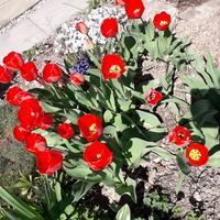 Kwitnące tulipany