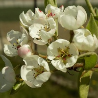 Kwitną drzewa owocowe :)
