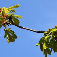 kwitną kasztanowce