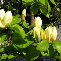 Magnolia żółta