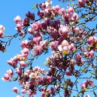 Magnolia Purpurowa