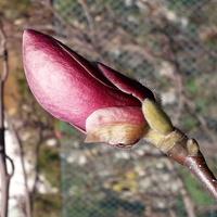 Magnolia..
