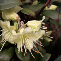 Mini rododendron już się prezentuje