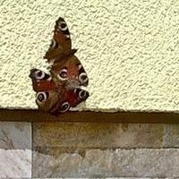 Motylki zażywają ciepełka.