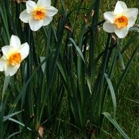 żonkile wiosenne