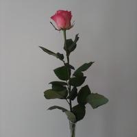 Róża dla Was przyjaciele