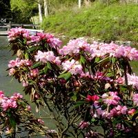 Różanecznik Metternicha