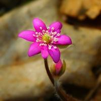 różowy kwiat ......