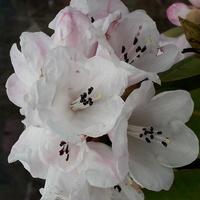 Rododendron się pośpieszył,przeżyje?