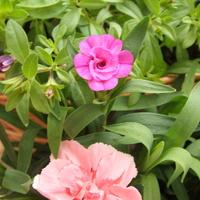 rozkwitają pierwsze kwiatki dzwonków