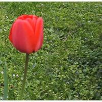 Samotny tulipan