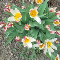 Te trójkolorowe tulipany zawsze wiodą prym...