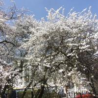 To piękna wiosna chociaż na drzewach biało