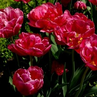Tulipany w ogr. botanicznym.