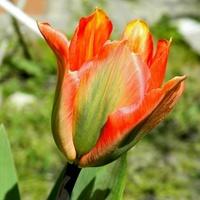 Wesoły tulipanek:)