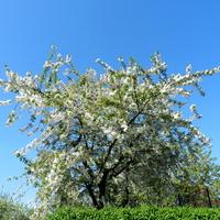 Wiśnia,kwitną drzewa owocowe