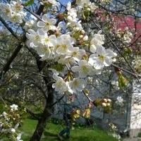 Wiśnia w kwieciu - sielsko anielsko.....