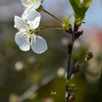 Zaczyna kwitnąć wiśnia