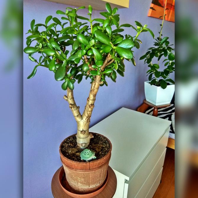 Drzewko szczęścia - Grubosz jajowaty