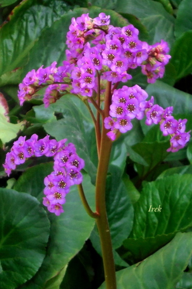 Kwiat z wielkimi liśćmi.