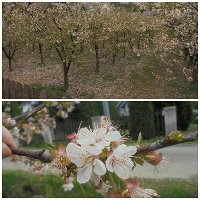 Kwitnący sad wiśniowy...