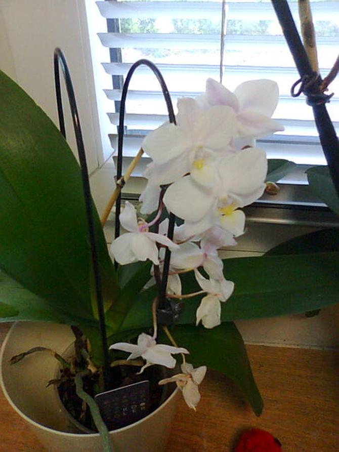 Phalaenopsis miniaturka