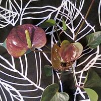 Anturium andreego giant chocolate