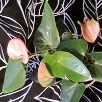 Anturium andreego różowe