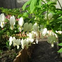 Biała jeszcze kwitnie
