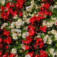 białe i czerwone kwiatki