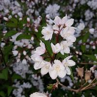 Białe Kwiatki .....