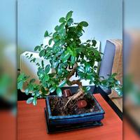 Drzewko bonsai - Karmona drobnolistna