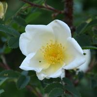 dzika biała róża