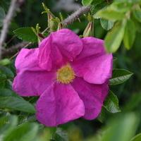 dzika róża czerwona