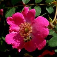 Dzika róża pachnąca