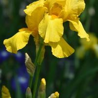 kosaciec żółty z łodygą