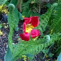 Kwiat paproci ?